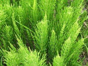 Травы при отеке легких