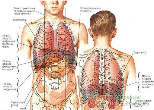 ассортимента Термолайн расположение легких у человека образом, терморегуляция
