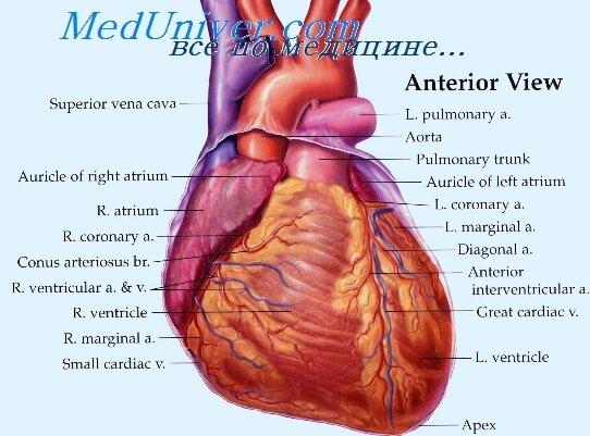Поражения печени при правожелудочковой сердечной недостаточности: картинки, медикаменты, признаки, профилактика