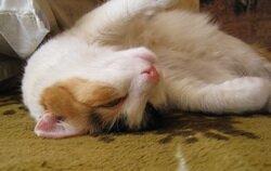 Гипертензия у кошек - повышенное давление у кошек