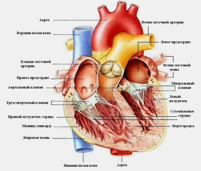 Коронарография сосудов сердца видео ⋆ Лечение Сердца
