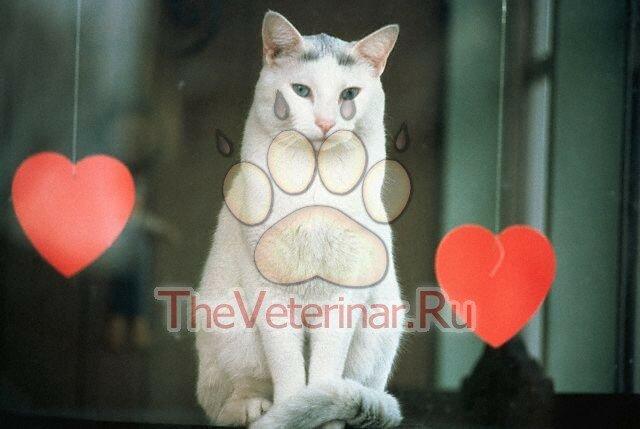 Острая сердечная недостаточность у кота симптомы