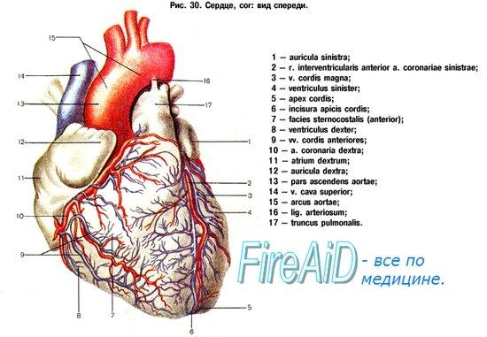 Bovine heart anatomy
